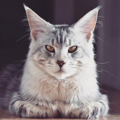 A gata Kara. (Foto: Instagram/mainecoon_spain)