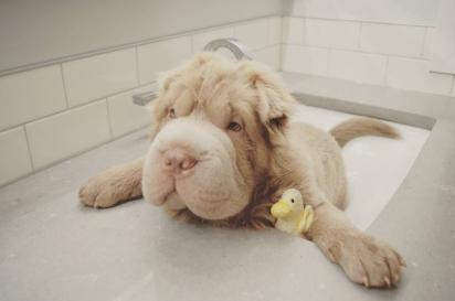 O cachorro Tonkey. (Foto: Instagram/bearcoat_tonkey)