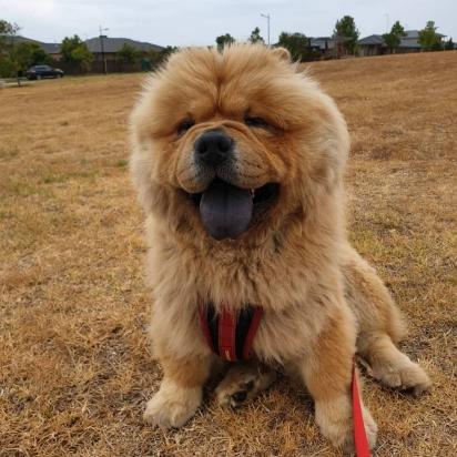 O cão Chewbacca da raça Chow Chow. (Foto: Instagram/chewie_the_chow_chow)