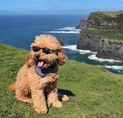 O cão Samson da raça Goldendoodle. (Foto: Instagram/samsonthedood)