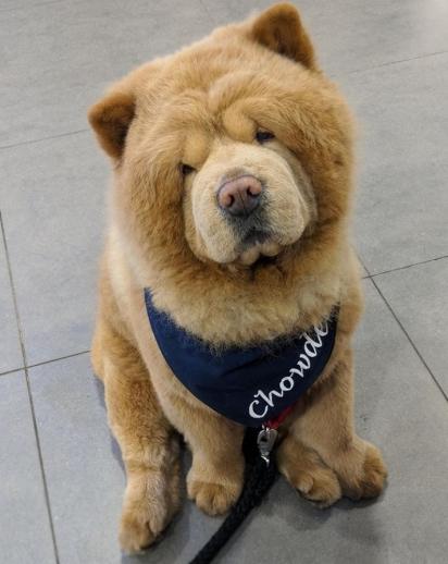 O cão Chowder da raça Chow Chow. (Foto: Instagram/chowderthebeardog)