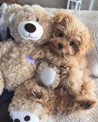 O cão Oliver da raça Spitzpoo. (Foto: Instagram/oliverthedogx)
