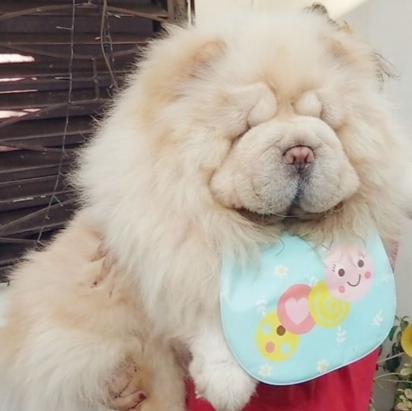 A cachorra Odin da raça Chow-chow. (Foto: Instafram/asgardianbeardogs)