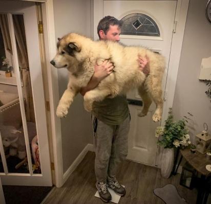 O cão Phil da raça Malamute-do-alasca. (Foto: Instagram/lifewithmalamutes)