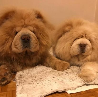 Os cães Lepi e Masha da raça Chow-chow. (Foto: Instagram/twohappychowchow)