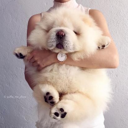O cão Puffie da raça Chow-chow. (Foto: Instagram/puffie_the_chow)