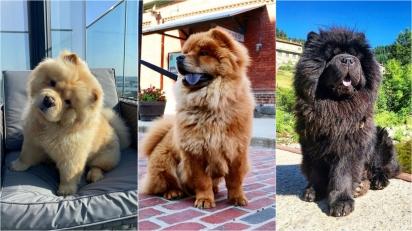 A raça Chow-Chow são conhecidos por serem altamente territoriais. (Foto: Instagram/chowtimechowchow | Instagram/cocothetorontobear | Instagram/monsieur_georges_)
