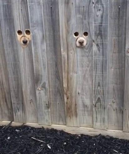 Cachorros espiam a vizinhança em buracos na cerca feito pela dona. (Foto: Reprodução TikTok/@liltroubless)