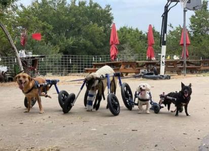 Da esquerda para direita: Francis, um cordeiro chamado Adam Lambert, Hashtag e Pixie são alguns dos animais que dependem de cadeiras de rodas para se locomover em Safe in Austin, um santuário de animais de estimação. (Foto: Safe in Austin)