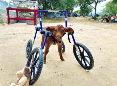 Ruby Sue, dando seus primeiros passos usando uma cadeira de rodas feita sob medida pela Walkin Pets. (Foto: Safe in Austin)