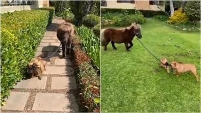 Cães da raça buldogue francês seguram nas rédeas do pônei para levá-lo para passear. (Foto: Reprodução Youtube/SWNS)