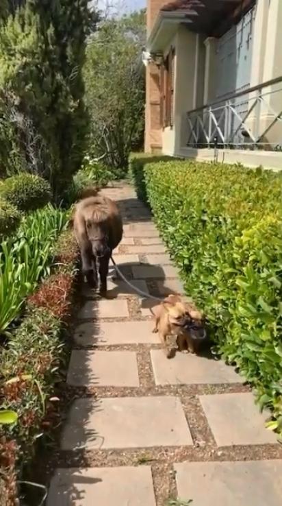 Cães encantam ao levarem seu amigo pônei para passear. (Foto: Reprodução Youtube/SWNS)