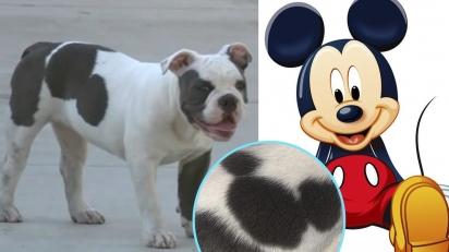 Cadela chama atenção por ter nascido com o formato do Mickey Mouse nas costas. (Foto: Instagram/donaldhawecker | Divulgação)