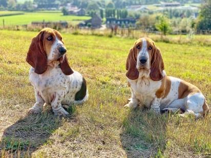 A raça Basset hound possui pele enrugada, orelha comprida e olhar cabisbaixo. (Foto: Instagram/bassethounds_sofie_and_)