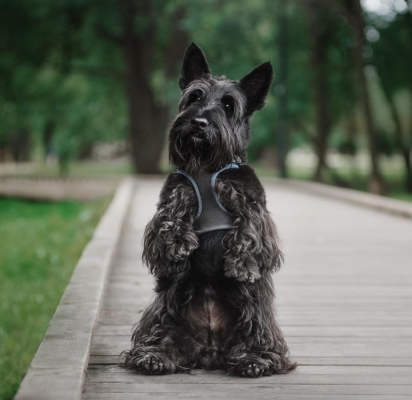 A raça Scotish terrier  possui o visual angular, reto, barbicha charmosa e cauda ereta. (Foto: Instagram/Vkamidogs)