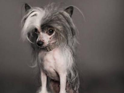 Cão de crista chinês possui pelo na cabeça diferentemente do corpo que é liso. (Foto: Divulgação/iStock)