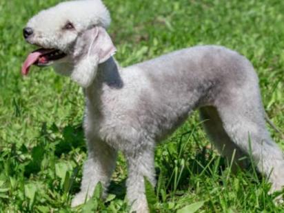 A raça Bedlington Terrier possui semelhança com um cordeiro. (Foto: Divulgação/iStock)
