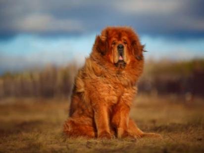 Bulldog do Tibete ou Mastim Tibetano é um cão robusto. (Foto: Divulgação/iStock)