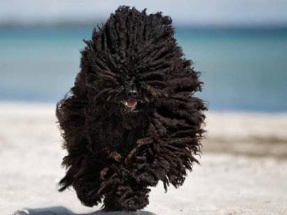 A raça Puli necessita de cuidados específico para os pelos. (Foto: Divulgação/iStock)