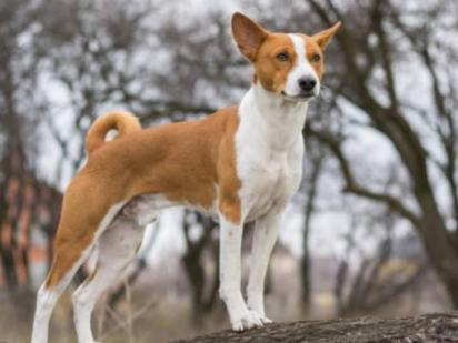 Basenji é considerada a raça mais antiga entre os cães. (Foto: Divulgação/iStock)
