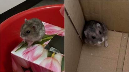 Gato leva para casa dois hamsters e dona procura o proprietário pelas redes sociais. (Foto: Facebook/ChuLei Teo)