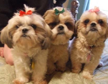 O trio bagunceiro Sushi, Toffee e Sparkle, da raça shih-tzu. (Foto: Reprodução/ViralPress)