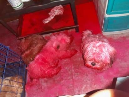 Os cães haviam mexido nas maquiagens e furado um pacote de pó colorido. (Foto: Reprodução/ViralPress)
