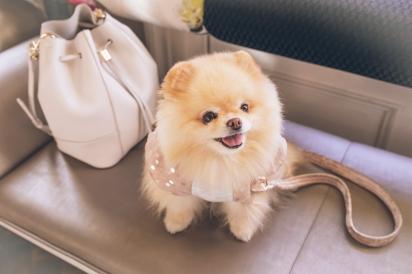 Cães da raça lulu da pomerânia está entre as mais cobiçadas por sequestradores. (Foto: FLOUFFY/Unsplash)