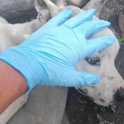 A cadela foi encontrada num grande quadro de desnutrição. (Foto: Twitter/@Isravilla18)