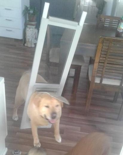O cão quis imitar seus irmãos caninos menores e passar pela portinha pet. (Foto: Facebook/Charmaine Hulley)