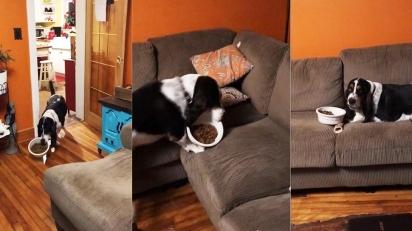 Basset hund folgado come em frente à TV e vídeo viraliza. (Foto: Reprodução TikTok / audreywaitoprince)
