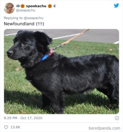 Corgi com Newfoundland. (Foto: Twitter/@soapachu)