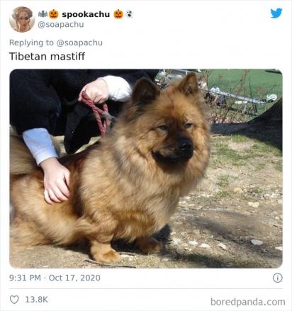 Corgi com mastiff tibetano. (Foto: Twitter/@soapachu)