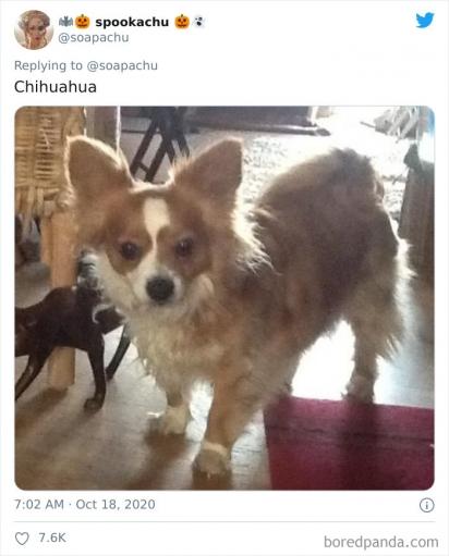 Corgi com Chihuahua. (Foto: Twitter/@soapachu)