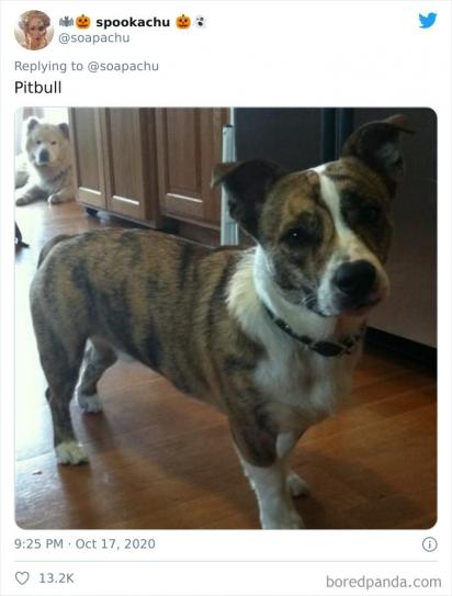 Corgi com Pit bull. (Foto: Twitter/@soapachu)
