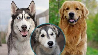 A cruza entre as raças golden retriever e husky siberiano dá origem a raça 'goberiano'. (Foto: Instagram/the_gold_dog_show | Divulgação/Flickr | Instagram/themore_theterrier_)