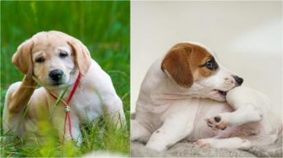 Conheça os principais problemas (e doenças) de pele entre os cães. (Foto: Reprodução/homeopet | Reprodução westarbor)