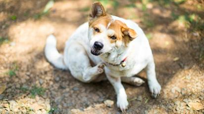 O cão pode desenvolver alergias de pele se for repetidamente exposto a um material - o alérgeno - que causa coceira excessiva na pele. (Foto: Reprodução/Pixabay)