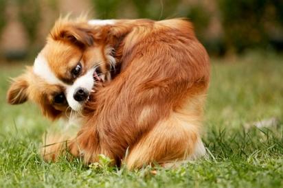 Os parasitas comuns nos cachorros são pulgas, carrapatos e piolhos. (Foto: Reprodução/Pixabay)