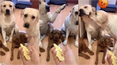 Cães fazem bagunça em casa e um acusa o outro de ser o responsável. (Foto: Reprodução Tik Tok/petsbaby)