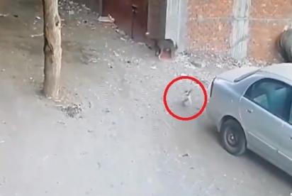 Ao perceber cachorro atacando criança, gato corre imediatamente na direção para socorrê-la. (Foto: Reprodução Twitter/@MiraMiasilChe)