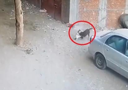 Com o ataque do gato o cachorro sai do local, deixando a criança sem ferimentos. (Foto: Reprodução Twitter/@MiraMiasilChe)
