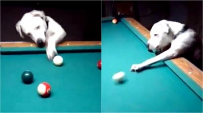Cachorrinha manda muito bem jogando sinuca. (Foto: Reprodução Twitter/@RexChapman)