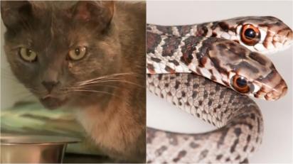 Gato encontra cobra de duas cabeças raríssima durante passeio na vizinhança. (Foto: Reprodução/abc Action New | Jonathan Mays)