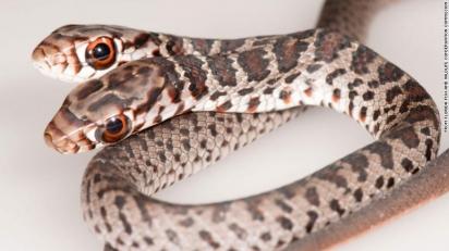O Instituto de Pesquisa de Peixes e Vida Selvagem da Flórida está cuidando da cobra. (Foto: Jonathan Mays)