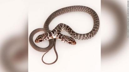 Cobras de duas cabeças não duram muito na natureza, já que ambas as cabeças podem tomar decisões diferentes. (Foto: Jonathan Mays)