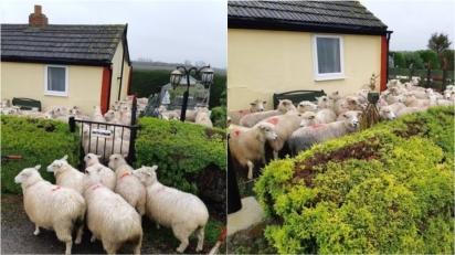 Rebanho de ovelhas busca abrigo no quintal de casa para fugir de cachorro solto em pasto. (Foto: Facebook/Policing Fenland)