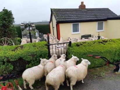 Eram muitas ovelhas, nem todas conseguiram entrar no pátio da casa. (Foto: Facebook/Policing Fenland)