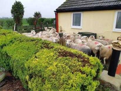 Ovelhas invadem quintal de residência na tentativa de fugir de cachorro solto da coleira. (Foto: Facebook/Policing Fenland)