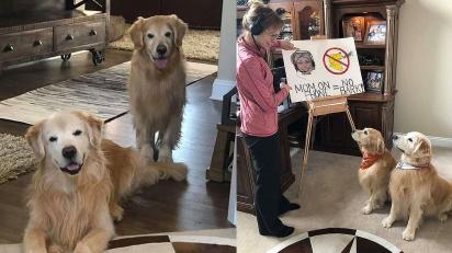 Dona ensina seus cães golden retriever a não latir enquanto ela estiver trabalhando. (Foto: Facebook / Rochelle Andonian)